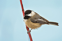 Black-capped Chickadee (Poecile atricapillus) perched on red osier dogwood branch.  Pacific Northwest, February.