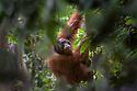 Adult male Bornean orang-utan (Pongo pygmaeus) in rainforest understorey.  Danum Valley, Sabah, Borneo.