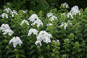 Phlox paniculata 'Mount Fuji', early August.