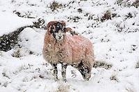 Swaledale ram in the snow, Bentham, North Yorkshire....Copyright..John Eveson, Dinkling Green Farm, Whitewell, Clitheroe, Lancashire. BB7 3BN.01995 61280. 07973 482705.j.r.eveson@btinternet.com.www.johneveson.com