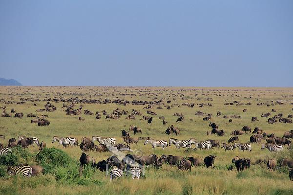 Wildlife--zebra and wildebeest--as far as the eye can see.  Serengeti National Park, Tanzania.
