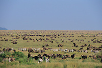 Wildlife--zebra and wildebeest--as far as the eye can see.  Serengeti National Park, Tanzania.