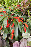 Goldfish Plant, Gloxinia sylvatica 'Imp. Orange Bungle'
