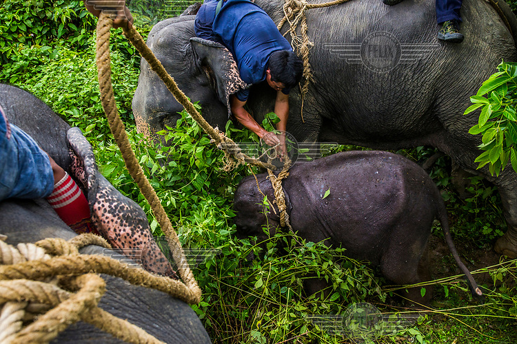 Mahouts together with their trained elephants, forestry rangers, and police attempt to capture the eight-month-old female calf Ayarthu. Following the death of her mother at the hands of poachers, Ayarthu got lost and came close to human territory. The local villagers reported her to the forestry department to be captured and sent to Wingabaw Camp.