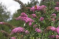 Buddleja, Schmetterlingsflieder, Schmetterlings-Flieder, Sommerflieder, mit Schmetterling, Kleiner Fuchs, Aglais urticae, Butterfly Bush