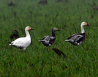 Three lesser snow geese, one adult white, one adult dark and one juvenile dark