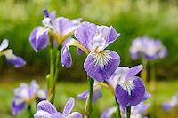 Iris versicolor 'Rowden Cantata'