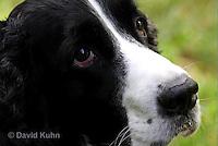 0730-0809  English Springer Spaniel, Canis lupus familiaris © David Kuhn/Dwight Kuhn Photography.