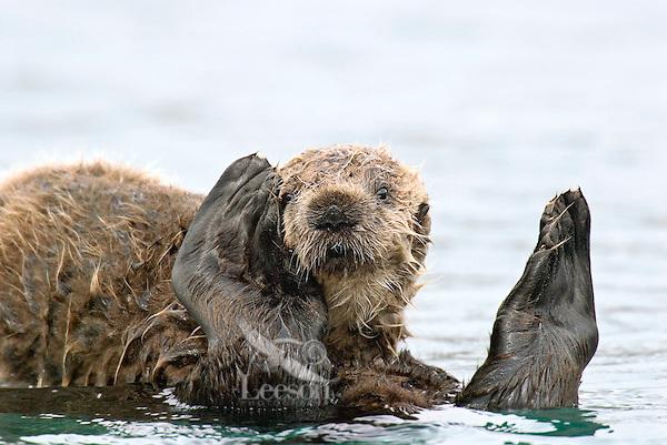 Sea Otter (Enhydra lutris) pup riding on mom's tummy.  Pup has just finished nursing.  Prince William Sound, Alaska.