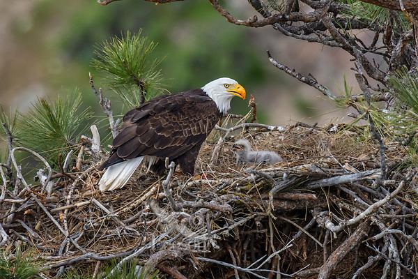 Bald Eagle Nest (Haliaeetus leucocephalus)--adult with ten to twelve day old eaglet in tall ponderosa pine tree.  Oregon.  April.