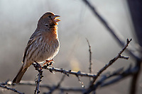 House Finch (Haemorhous mexicanus frontalis), Common Group, male singing in Desert Meadows Park, Green Valley, Arizona.