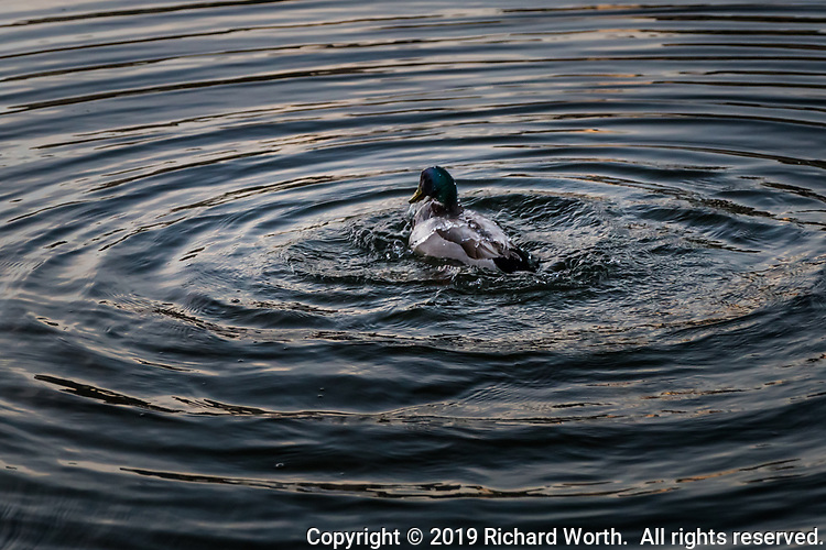 A mallard duck, with water streaming off its head and back, is a the center of concentric circles it has created by vigorously splashing in a canal on Alameda's Bay Farm Island near San Francisco Bay.