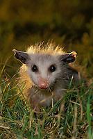 Cute baby possum, didelphis marsupialis,  in grass, making eye contract