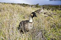 Hawaiian nene geese in Haleakala National Park