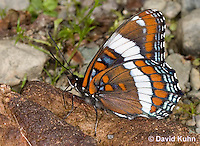 """0704-0806  White Admiral Butterfly """"Drinking Moisture from Animal Feces"""", Limenitis arthemis """"Northeast United States Form""""  © David Kuhn/Dwight Kuhn Photography"""