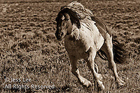 running stallion,fighting MustangsMcCullough Peaks Mustangs Wild Horse Photography by western photographer Jess Lee. Pictures of mustangs in the West. Fine art images,Prints,photos Wild horse photo,wildhorses in the american west,