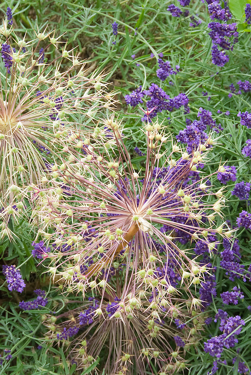 Allium christophii Star of Persia seedheads + Lavandula angustifolia lavender herb