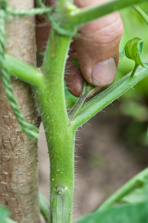 """Pinching out sideshoots that appear in the """"V"""" between the leaf stems and the main stem of a vine or cordon tomato."""
