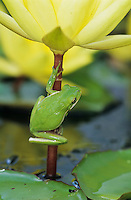 Green Treefrog, Hyla cinerea, adult on yellow waterlily, Welder Wildlife Refuge, Sinton, Texas, USA, May 2005