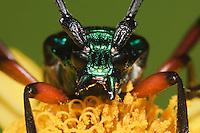 Longhorn beetle (Cerambycidae), adult, Sinton, Corpus Christi, Coastal Bend, Texas, USA