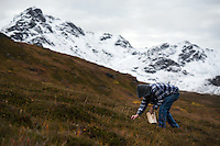 A berry picker works the slopes for late-ripening crowberries in Hatcher Pass. The road over the pass is closed to vehicle traffic for winter starting Sept. 14 this year.