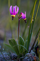 Poet's Shooting Star or narcissus shooting star (Dodecatheon poeticum).  Columbia River Gorge National Scenic Area, WA.  March.
