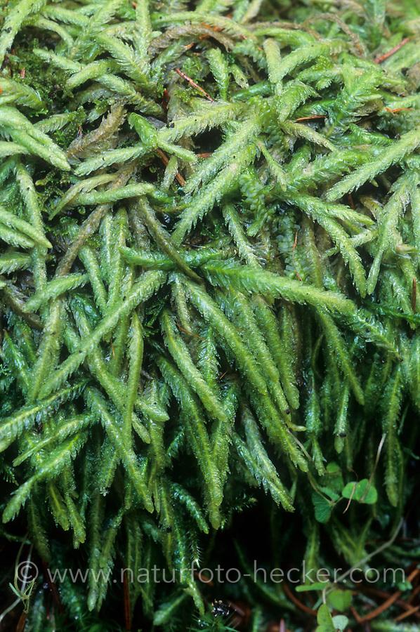 Gewelltblättriges Schiefkapselmoos, Wellenblättriges Schiefbüchsenmoos, Plagiothecium undulatum, wavy-leaved cotton moss