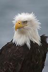 Portrait of a Bald eagle in Homer, Alaska.