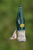 Kleiber, an der Vogelfütterung, Fütterung am Meisenknödel, Fettfutter, Spechtmeise, Sitta europaea, Eurasian nuthatch. Ganzjahresfütterung, Vögel füttern im ganzen Jahr, Vogelfutter der Firma GEVO
