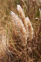 Cotton Grass seeds - Syros, Greece