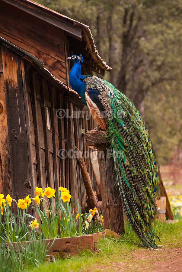 Peacock roosting by the daffodil flowers, McLaughlin's Daffodil Hill in bloom, Volcano, Calif.