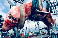 15 ft. great white shark, Carcharodon carcharias, killed in drift net, California, USA, Pacific Ocean