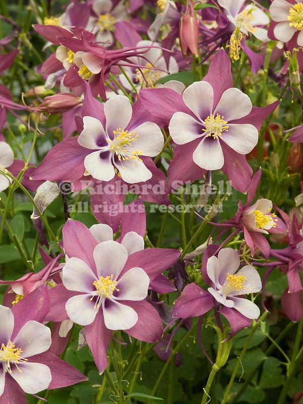 Columbine, Aquilegia Swan Lavender