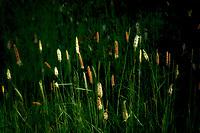 Rush plants in meadow. Oregon