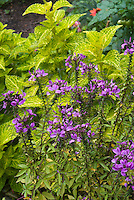 Cleome 'Senorita Rosality' hybrid spider flower pink against yellow green Solenostemon coleus, annual flowering plant with annual foliage plant