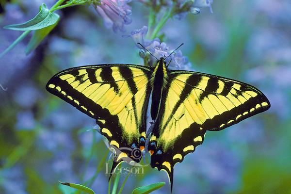 Western Tiger Swallowtail butterfly on penstemon wildflower.  Western U.S., Summer.