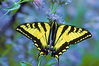 Western Tiger Swallowtail butterfly on penstemon wildflower.  Western U.S., Summer.