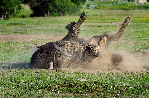 American bison (Bison bison) bull wallowing during summer mating season.  North American Great Plains, summer.