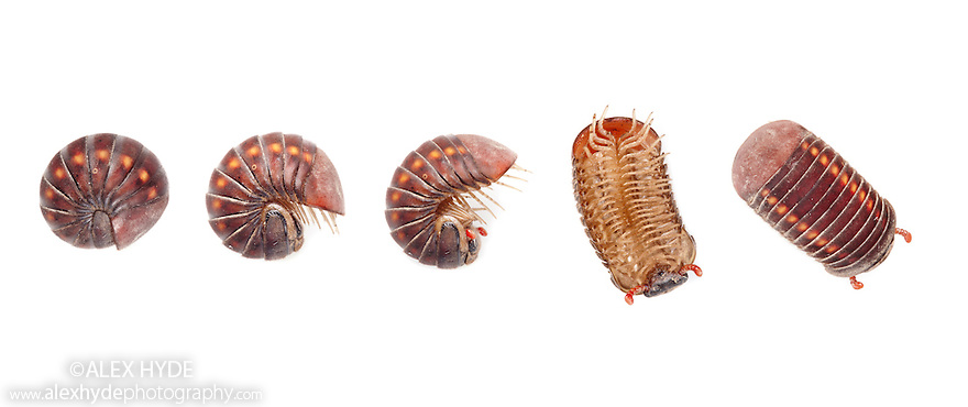 Pill Millipede {Glomeridae} unrolling from a defensive position, photographed on a white background in mobile field studio in tropical rainforest. Danum Valley, Sabah, Borneo, Malaysia. Digital Composite.