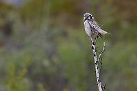 Northern Hawk Owl (Surnia ulula). Varanger, Norway. June.