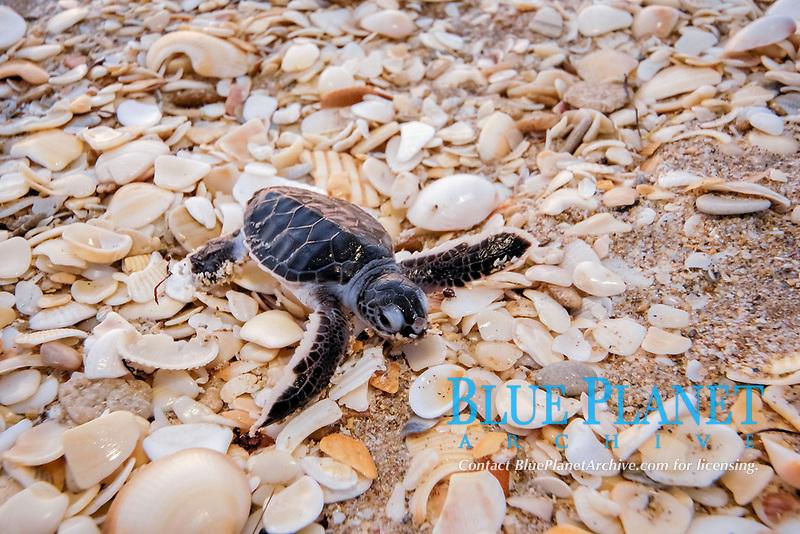 Green sea turtle (Chelonia mydas) hatchling, Florida, Atlantic Ocean