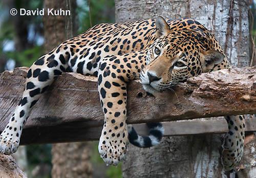0522-1108  Goldman's Jaguar, Belize, Panthera onca goldmani  © David Kuhn/Dwight Kuhn Photography