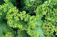 HS21-389x  Mustard - Green Wave