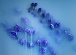 Pictured: The flowers appearing to be draped in smoke<br /> <br /> Photos show ghostly flowers draped in a thick smoke.    The flowers are submerged in water and treated with milk and paint to create the haunting image. <br /> <br /> They were taken by photographer Robert Peek in his studio in Rotterdam, The Netherlands.    Mr Peek first submerges flowers in a small fish tank, and weighs them down to stop them floating.    SEE OUR COPY FOR DETAILS<br /> <br /> Please byline: Robert Peek/Solent News<br /> <br /> © Robert Peek/Solent News & Photo Agency<br /> UK +44 (0) 2380 458800