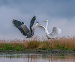"A heron and egret put on a mid-air dance display as they come to blows whilst hunting for fish.<br /> <br /> The squabbling birds were captured on camera by Judy Tseng from San Fransisco who was visiting the ...........................<br /> <br /> Judy said, ""This is a great egret and and a great blue heron.  These birds can become very territorial over their particular feeding area.  In the end, the great egret failed to nab the blue heron's spot and he flew away.""<br /> <br /> Please byline: Judy Tseng/Solent News<br /> <br /> © Judy Tseng/Solent News & Photo Agency<br /> UK +44 (0) 2380 458800"