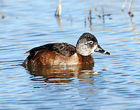 Adult female ring-necked duck in breeding plumage