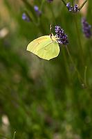 Butterfly in the vineyard. Mount Athos. Tsantali Vineyards & Winery, Halkidiki, Macedonia, Greece. Metoxi Chromitsa of St Panteleimon monastery.