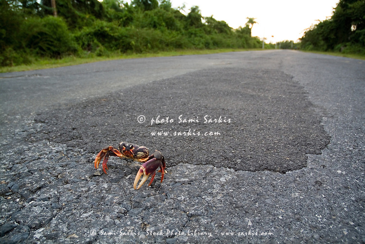 Red land crab (Gecarcinus lateralis) on the road to Maria la Gorda, Cuba.