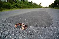 Red land crab (Gecarcinus lateralis) on the road to Maria la Gorda, Cuba.