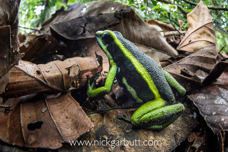 Adult three-striped poison dart frog (Ameerega trivittata)(formerly Epipedobates trivittatus) (Dendrobatidae). Manu Biosphere Reserve, lowland Amazon rainforest, Peru.